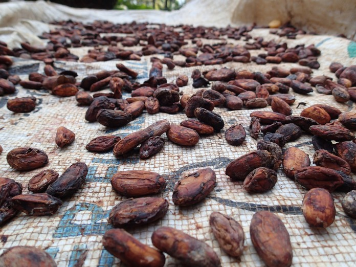 Drying cocoa beans.