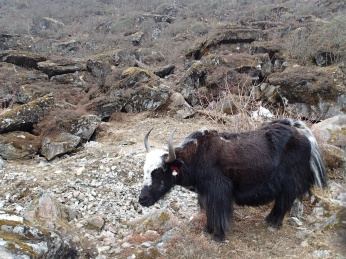 I think this is an honest to god, actual full breed yak.